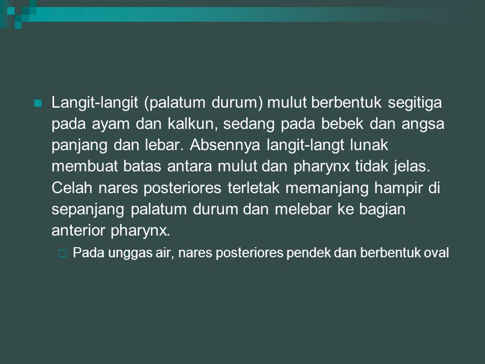 Glandula salivarius  Gl.