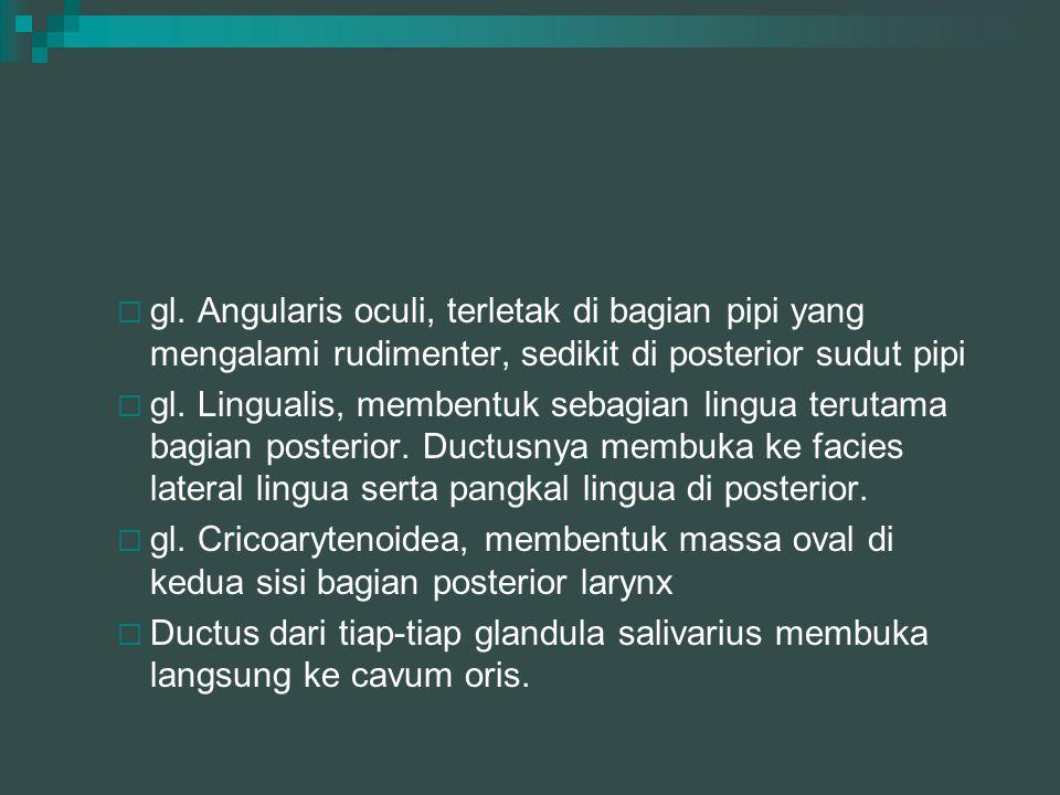  gl. Angularis oculi, terletak di bagian pipi yang mengalami rudimenter, sedikit di posterior sudut pipi  gl. Lingualis, membentuk sebagian lingua t