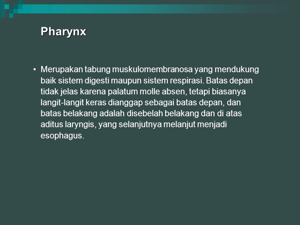 Pharynx Merupakan tabung muskulomembranosa yang mendukung baik sistem digesti maupun sistem respirasi. Batas depan tidak jelas karena palatum molle ab