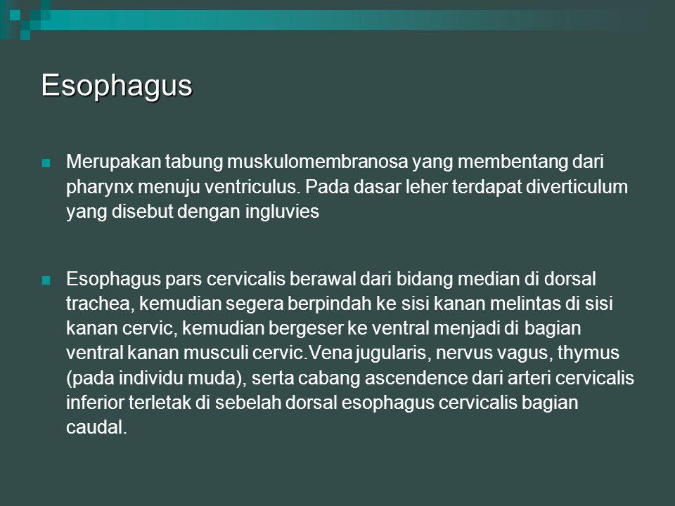 Esophagus Merupakan tabung muskulomembranosa yang membentang dari pharynx menuju ventriculus. Pada dasar leher terdapat diverticulum yang disebut deng