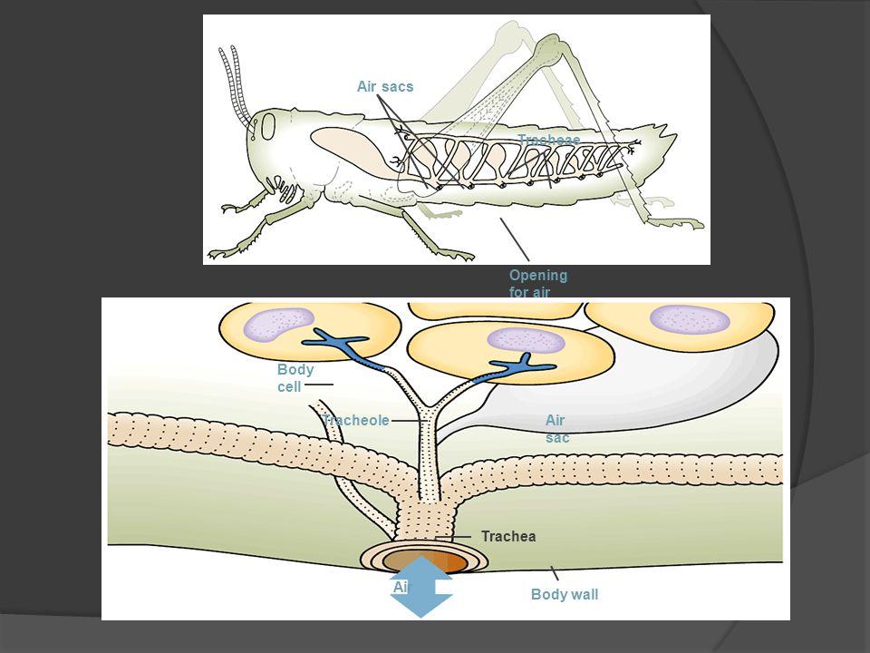Air sacs Opening for air Tracheae Body cell TracheoleAir sac Trachea Air Body wall