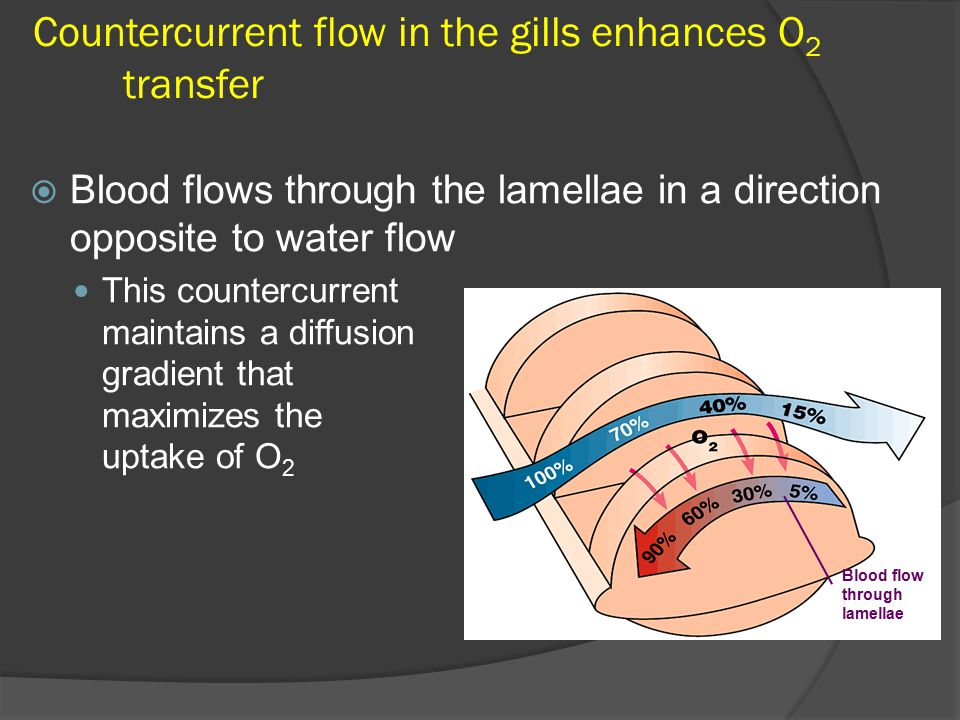 Countercurrent flow in the gills enhances O 2 transfer  Blood flows through the lamellae in a direction opposite to water flow This countercurrent maintains a diffusion gradient that maximizes the uptake of O 2 Blood flow through lamellae Water flow over lamellae