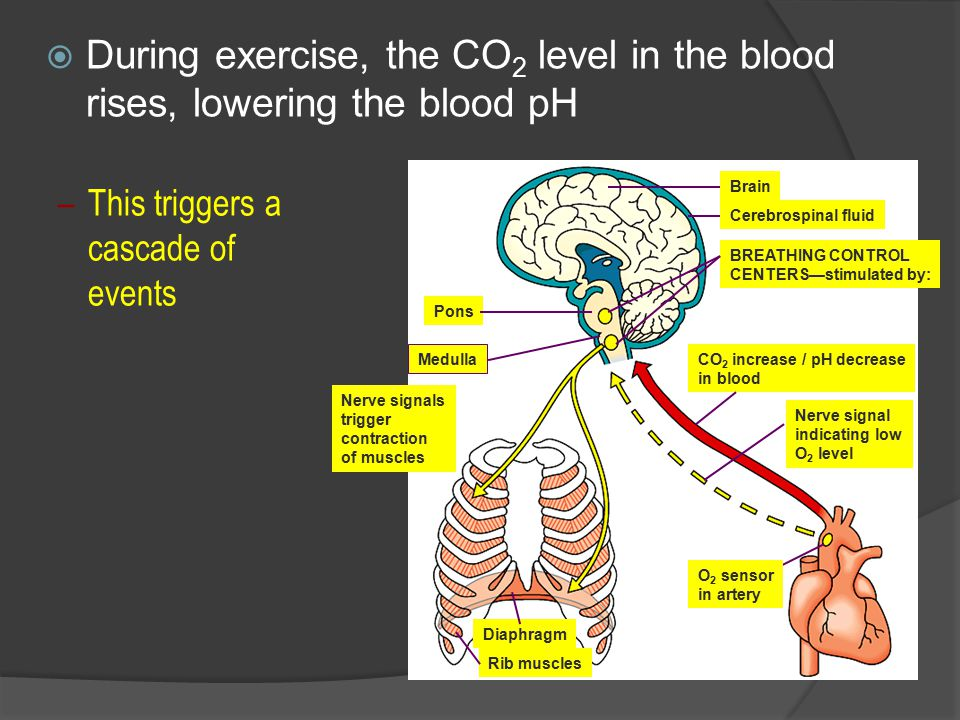  During exercise, the CO 2 level in the blood rises, lowering the blood pH –This triggers a cascade of events Brain Cerebrospinal fluid BREATHING CONTROL CENTERS—stimulated by: CO 2 increase / pH decrease in blood Nerve signal indicating low O 2 level O 2 sensor in artery Pons Medulla Nerve signals trigger contraction of muscles Diaphragm Rib muscles