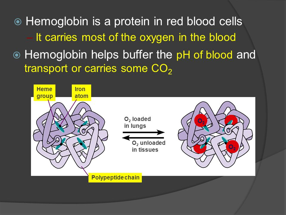  Hemoglobin is a protein in red blood cells –It carries most of the oxygen in the blood Heme group Iron atom Polypeptide chain O 2 loaded in lungs O 2 unloaded in tissues O2O2 O2O2  Hemoglobin helps buffer the pH of blood and transport or carries some CO 2