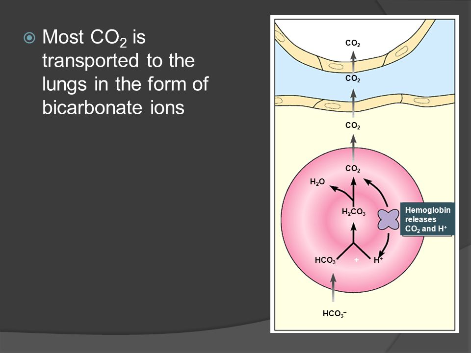  Most CO 2 is transported to the lungs in the form of bicarbonate ions ALVEOLAR SPACE IN LUNG CO 2 H2OH2O H 2 CO 3 HCO 3 – +H+H+ Hemoglobin releases
