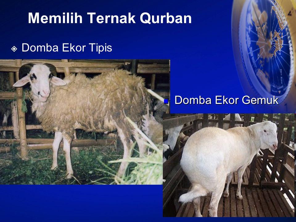 Memilih Ternak Qurban  Domba Ekor Tipis Domba Ekor Gemuk Domba Ekor Gemuk