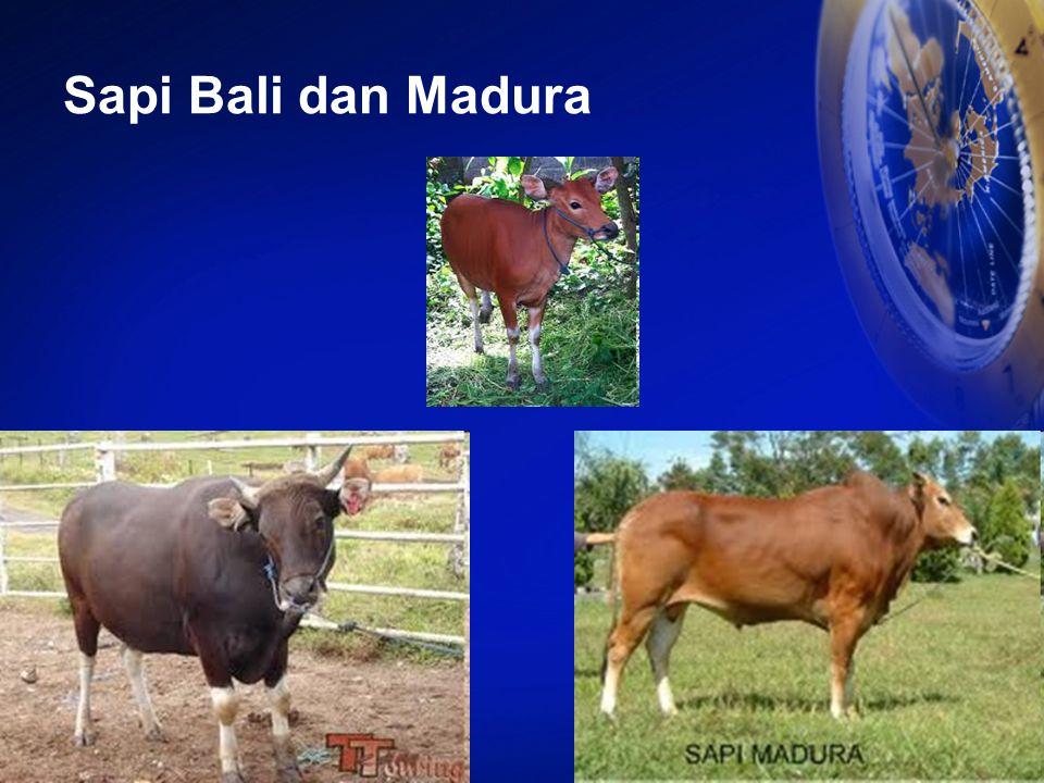 Sapi Bali dan Madura