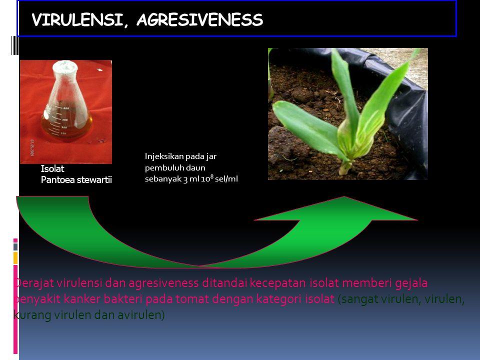 VIRULENSI, AGRESIVENESS Isolat Pantoea stewartii Injeksikan pada jar pembuluh daun sebanyak 3 ml 10 8 sel/ml Derajat virulensi dan agresiveness ditand