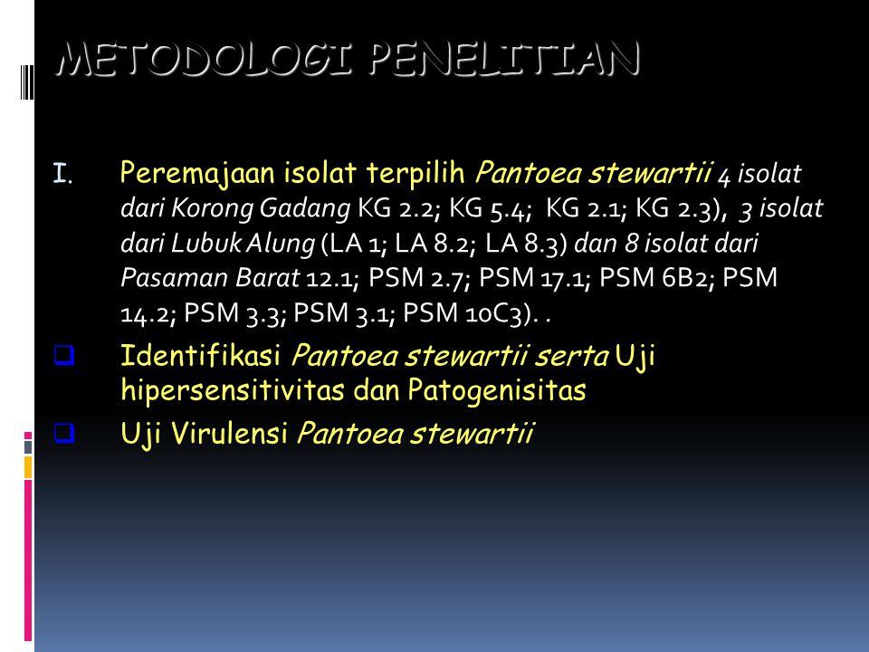METODOLOGIPENELITIAN METODOLOGI PENELITIAN I. Peremajaan isolat terpilih Pantoea stewartii 4 isolat dari Korong Gadang KG 2.2; KG 5.4; KG 2.1; KG 2.3)