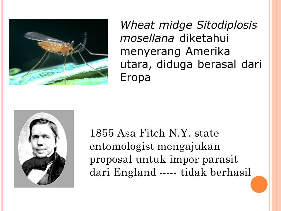 Wheat midge Sitodiplosis mosellana diketahui menyerang Amerika utara, diduga berasal dari Eropa 1855 Asa Fitch N.Y. state entomologist mengajukan prop