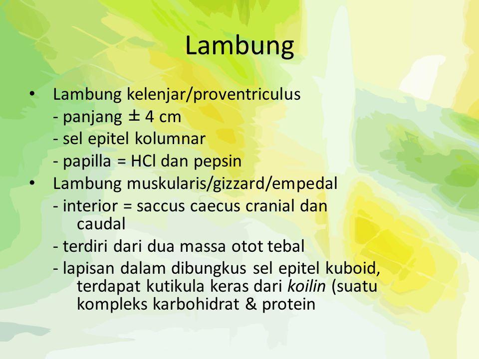 Lambung Lambung kelenjar/proventriculus - panjang ± 4 cm - sel epitel kolumnar - papilla = HCl dan pepsin Lambung muskularis/gizzard/empedal - interio
