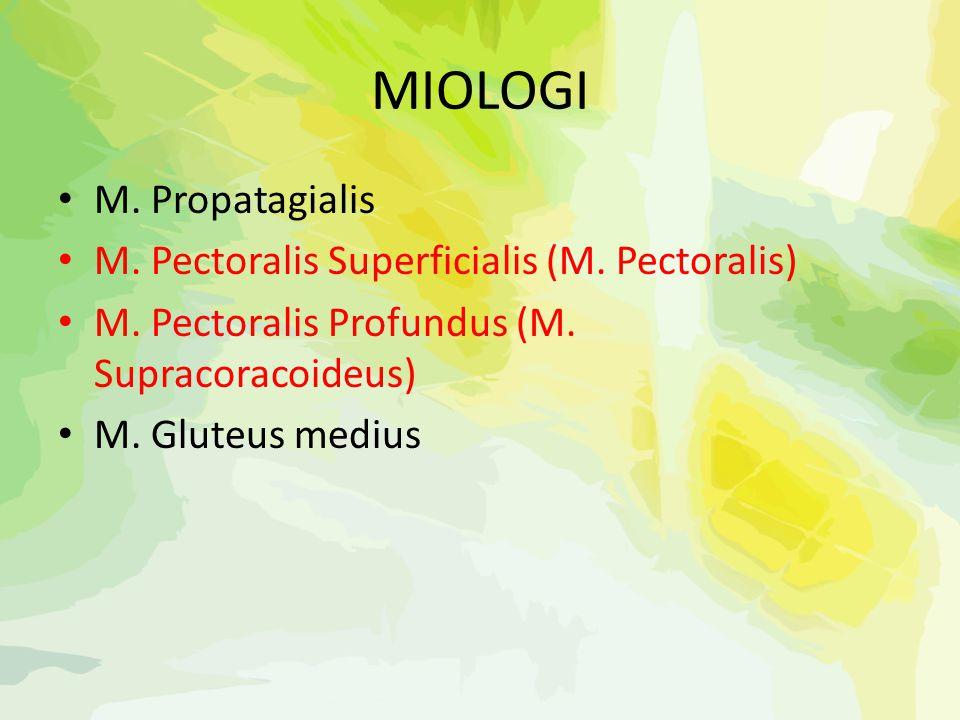 MIOLOGI M. Propatagialis M. Pectoralis Superficialis (M. Pectoralis) M. Pectoralis Profundus (M. Supracoracoideus) M. Gluteus medius