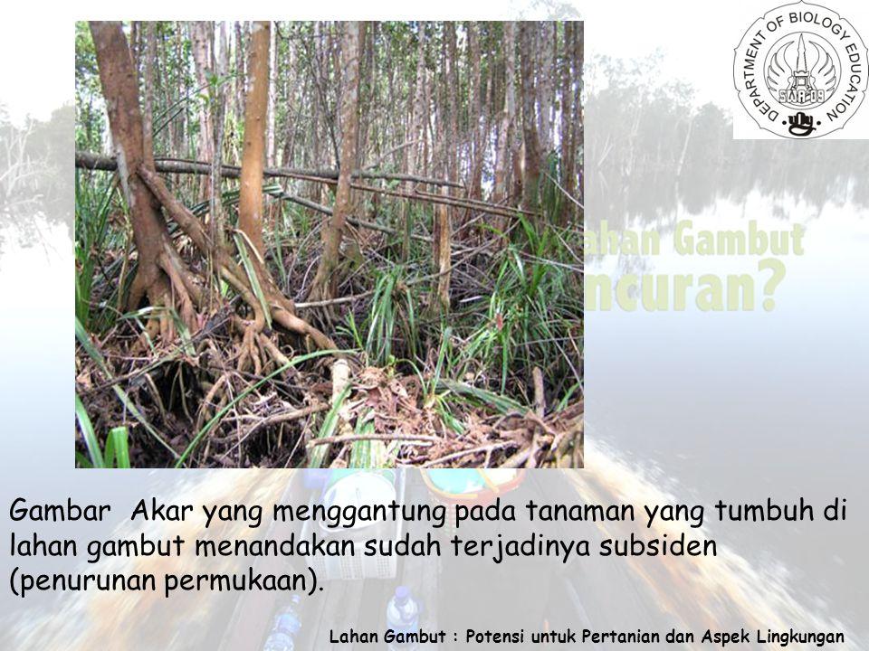 Lahan Gambut : Potensi untuk Pertanian dan Aspek Lingkungan Gambar Akar yang menggantung pada tanaman yang tumbuh di lahan gambut menandakan sudah terjadinya subsiden (penurunan permukaan).