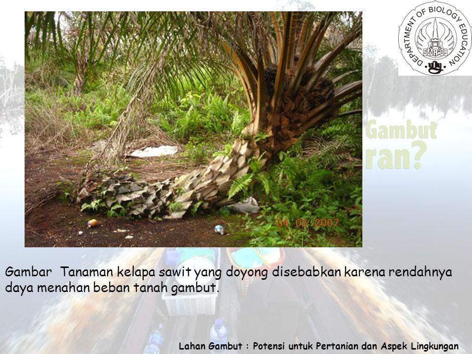 Lahan Gambut : Potensi untuk Pertanian dan Aspek Lingkungan Gambar Tanaman kelapa sawit yang doyong disebabkan karena rendahnya daya menahan beban tanah gambut.