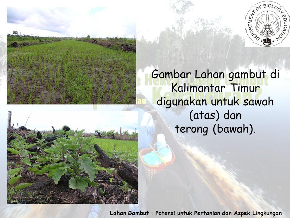 Lahan Gambut : Potensi untuk Pertanian dan Aspek Lingkungan Gambar Lahan gambut di Kalimantar Timur digunakan untuk sawah (atas) dan terong (bawah).