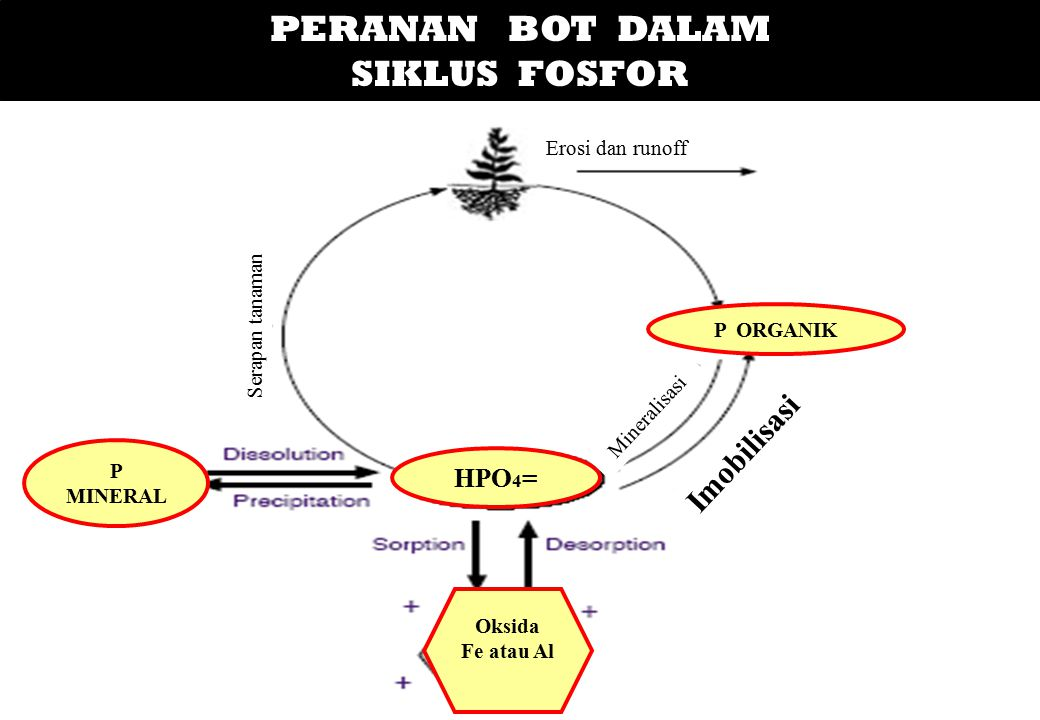 PERANAN BOT DALAM SIKLUS FOSFOR HPO 4 = P MINERAL P ORGANIK Oksida Fe atau Al Erosi dan runoff Serapan tanaman Imobilisasi Mineralisasi