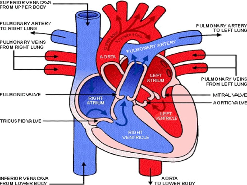 Ruang-Ruang Jantung 1: atrium kanan 2: ventrikel kanan 3: arteri pulmonalis 4: atrium kiri 5: ventrikel kiri 6: aorta 7: vena pulmonalis 8.