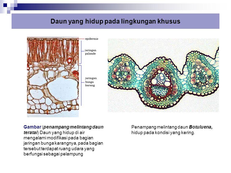 Daun yang hidup pada lingkungan khusus Gambar (penampang melintang daun teratai) Daun yang hidup di air mengalami modifikasi pada bagian jaringan bung