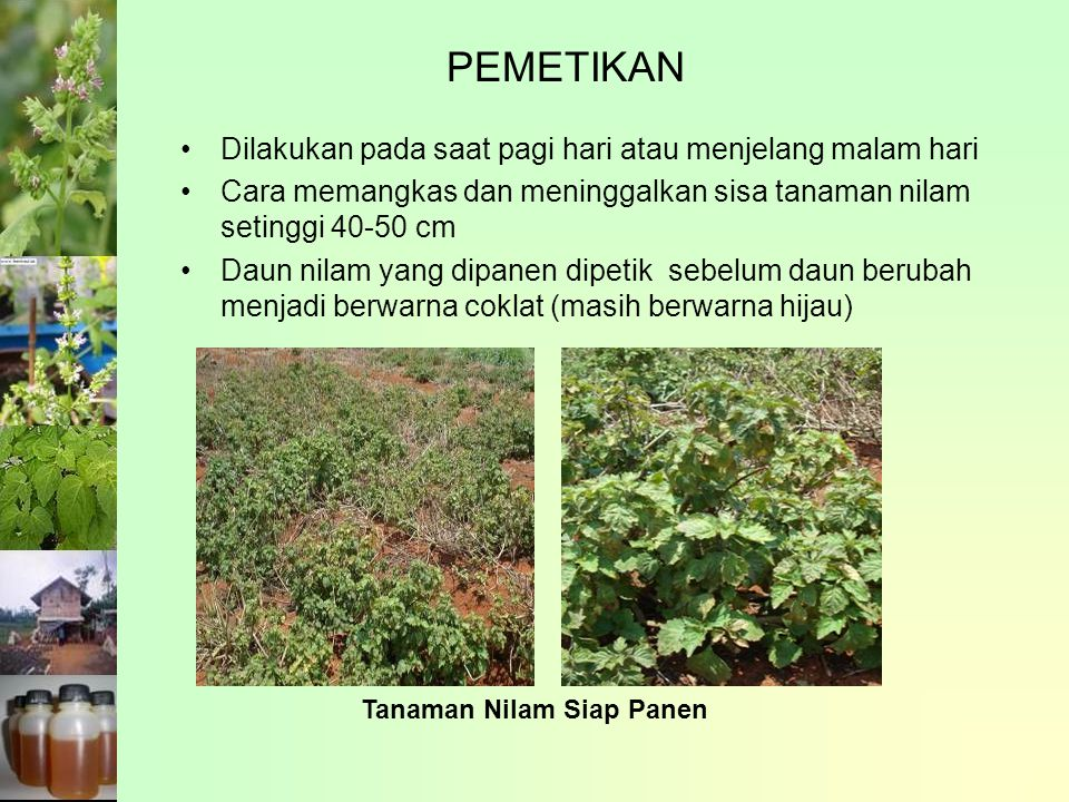 PEMETIKAN Dilakukan pada saat pagi hari atau menjelang malam hari Cara memangkas dan meninggalkan sisa tanaman nilam setinggi 40-50 cm Daun nilam yang