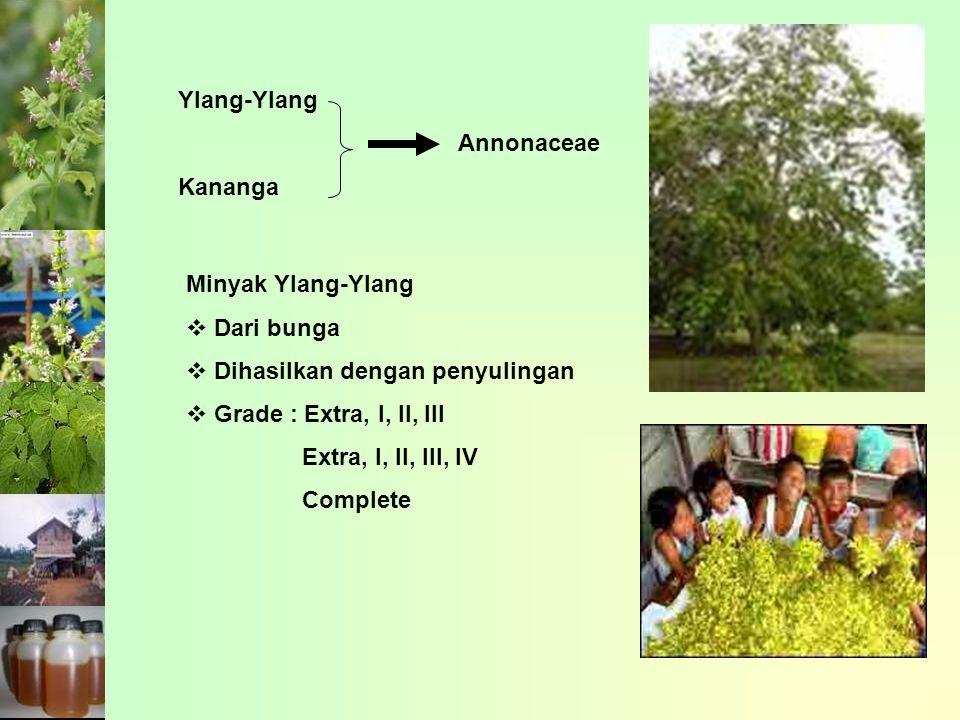 Ylang-Ylang Kananga Annonaceae Minyak Ylang-Ylang  Dari bunga  Dihasilkan dengan penyulingan  Grade : Extra, I, II, III Extra, I, II, III, IV Compl