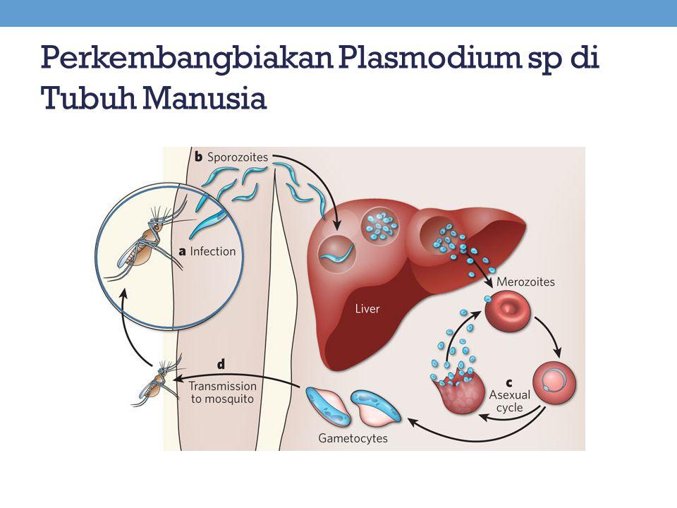 Perkembangbiakan Plasmodium sp di Tubuh Manusia