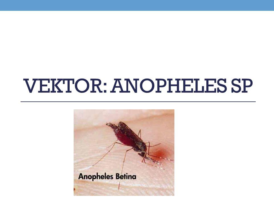 VEKTOR: ANOPHELES SP