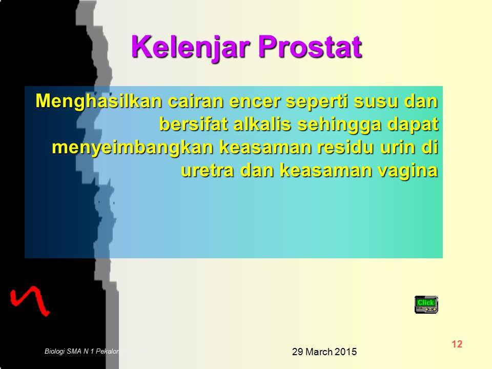 29 March 2015 11 Biologi SMA N 1 Pekalongan 2006 Vesika Seminalis Atau kantung semen, berguna sebagai tempat sementara sperma sebelum digunakan untuk