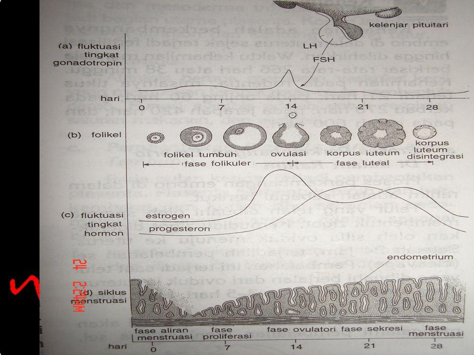 29 March 2015 23 Biologi SMA N 1 Pekalongan 2006 SIKLUS MENSTRUASI Siklus menstruasi pada wanita terdiri dari tiga fase : 1. Fase proliferasi 2. Fase
