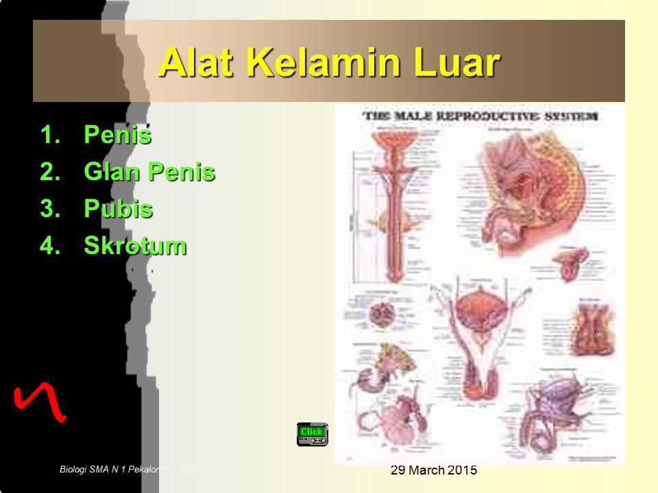 29 March 2015 4 Biologi SMA N 1 Pekalongan 2006 Alat Kelamin Dalam 1.Testis 2.Epididimis 3.Vas deferens 4.Vesika seminalis 5.Glandula prostat 6.Glandu