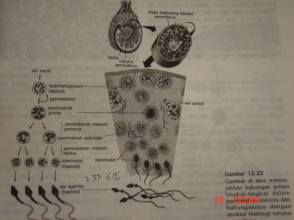 29 March 2015 18 Biologi SMA N 1 Pekalongan 2006 Alat kelamin luar terdiri dari : 1.Pubis 2.Mons veneris 3.Labia mayora 4.Labia minora 5.Klitoris 6.Orificium uretrae 7.Hymen