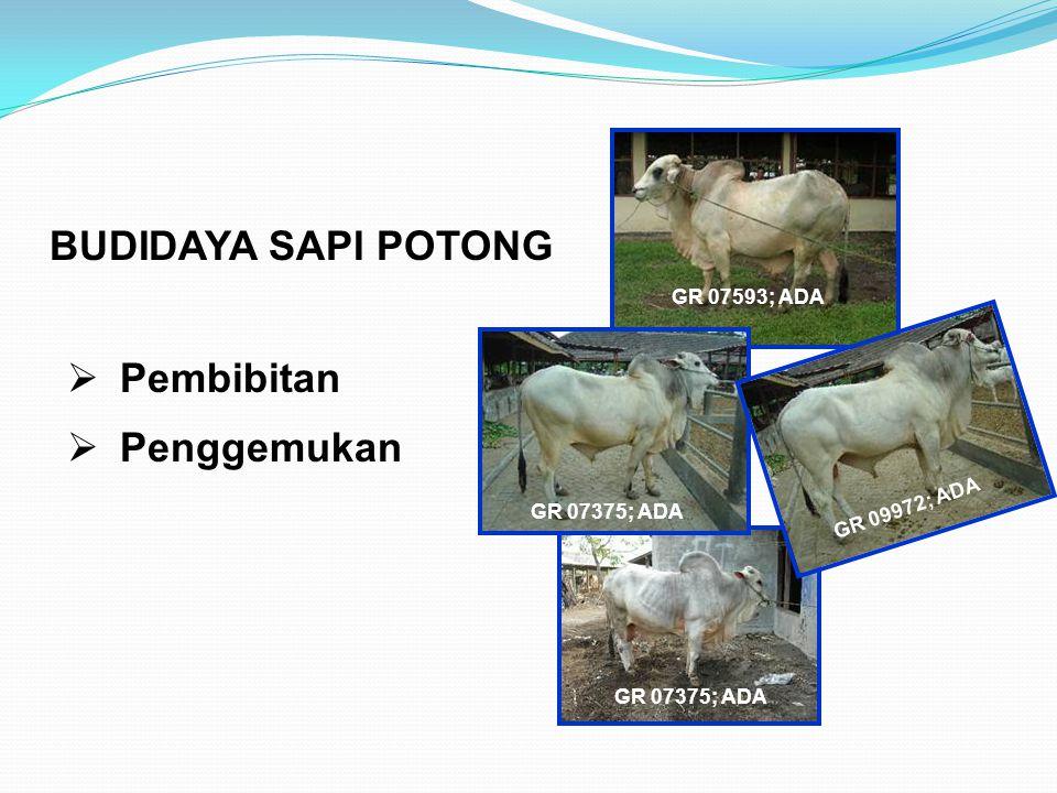 BUDIDAYA SAPI POTONG GR 07593; ADA GR 07375; ADA GR 09972; ADA  Pembibitan  Penggemukan