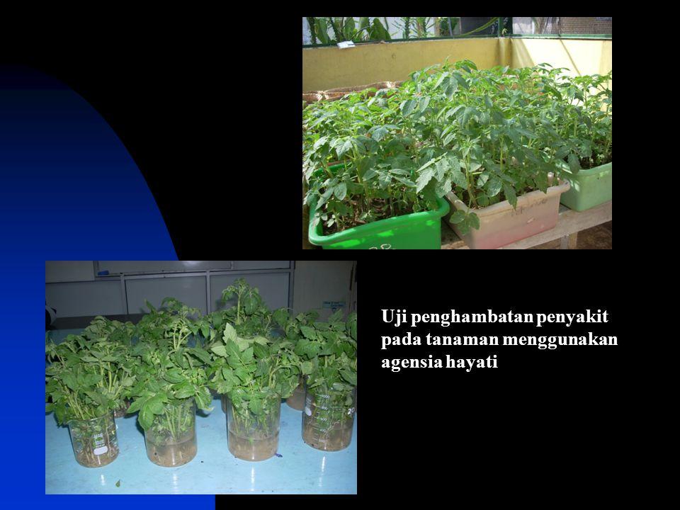Uji penghambatan penyakit pada tanaman menggunakan agensia hayati