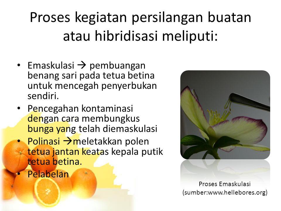 Proses kegiatan persilangan buatan atau hibridisasi meliputi: Emaskulasi  pembuangan benang sari pada tetua betina untuk mencegah penyerbukan sendiri