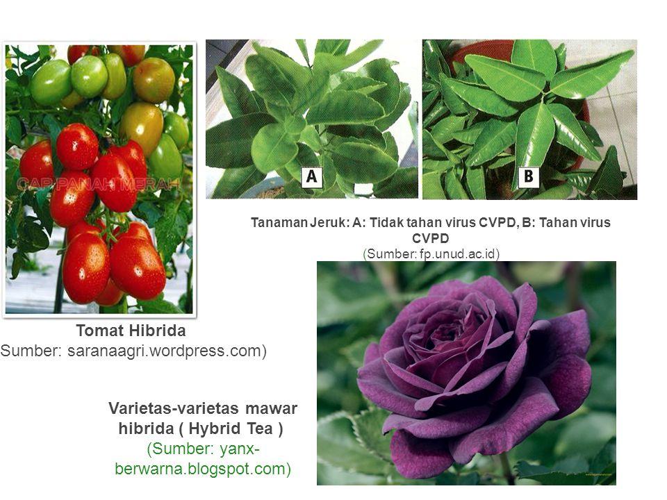 Tomat Hibrida (Sumber: saranaagri.wordpress.com) Tanaman Jeruk: A: Tidak tahan virus CVPD, B: Tahan virus CVPD (Sumber: fp.unud.ac.id) Varietas-variet
