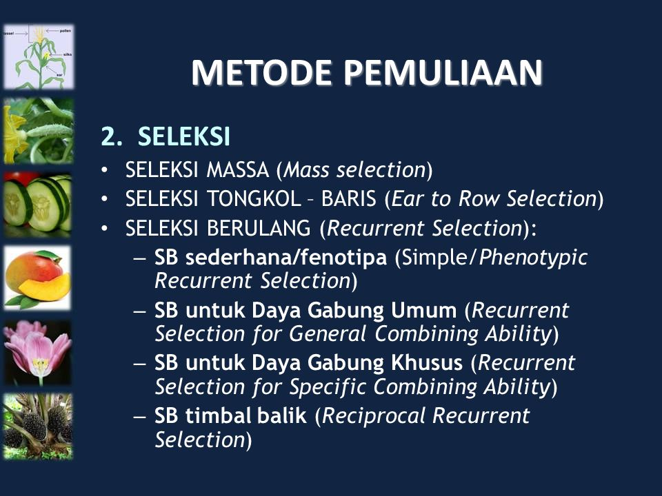 METODE PEMULIAAN 2.SELEKSI SELEKSI MASSA (Mass selection) SELEKSI TONGKOL – BARIS (Ear to Row Selection) SELEKSI BERULANG (Recurrent Selection): – SB