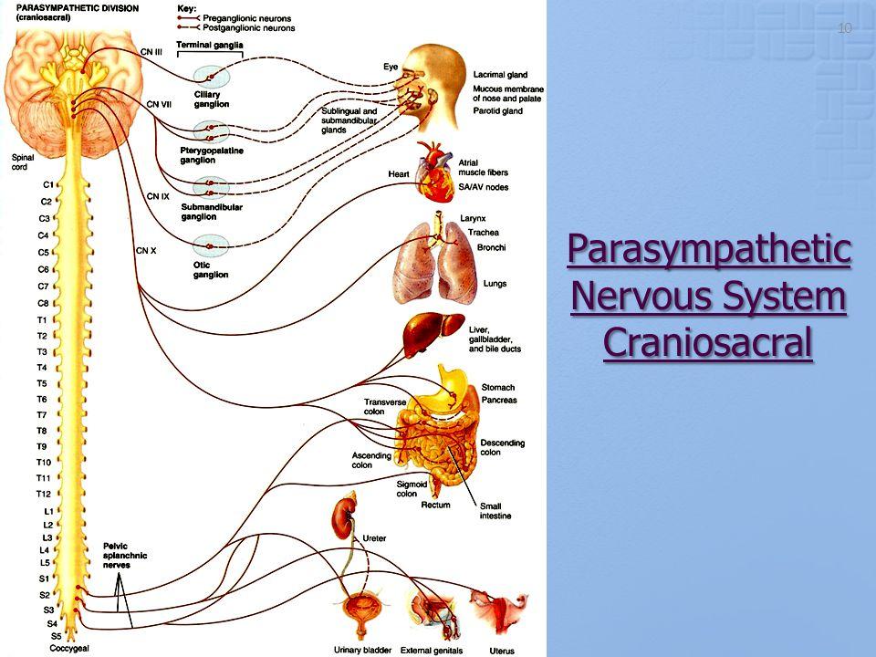 Parasympathetic Nervous System Craniosacral 10