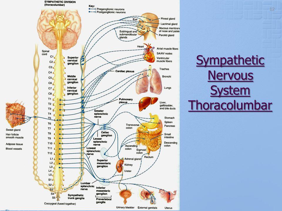 Sympathetic Nervous System Thoracolumbar 12