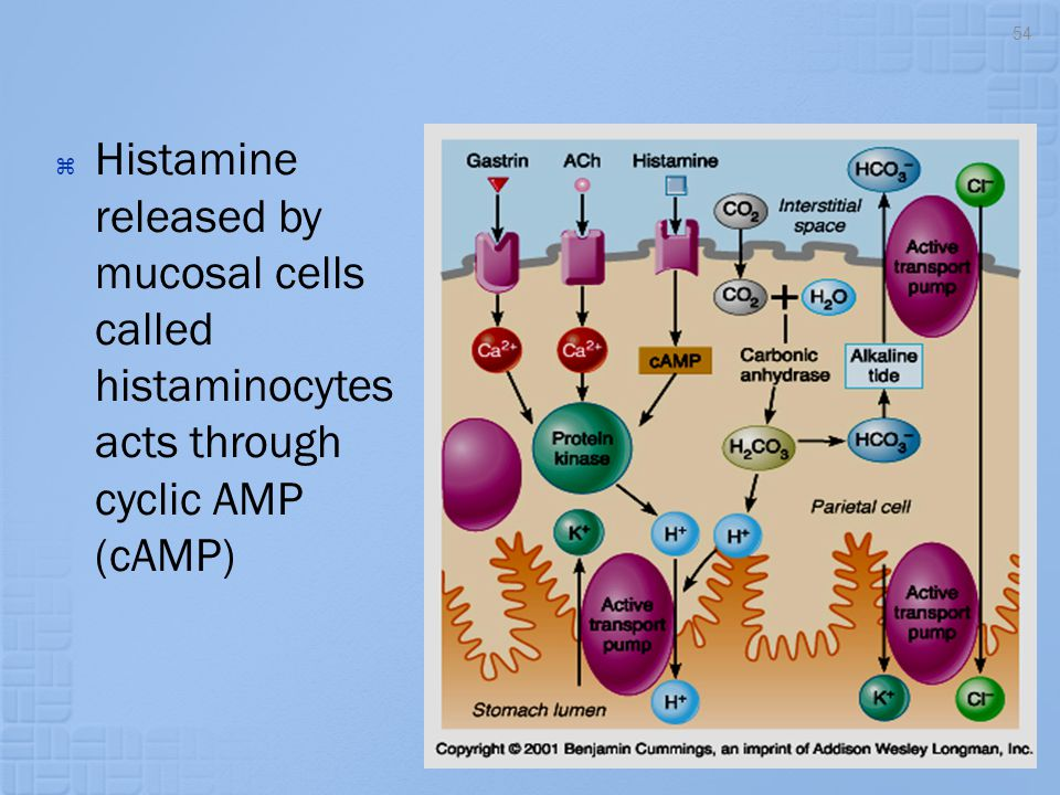  Histamine released by mucosal cells called histaminocytes acts through cyclic AMP (cAMP) 54