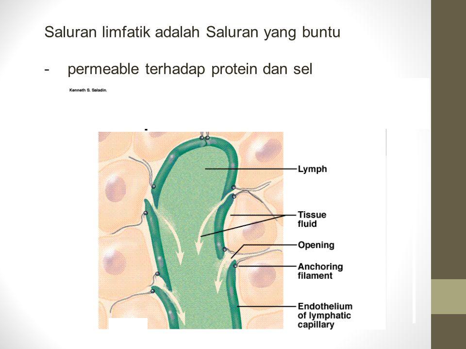 Saluran limfatik adalah Saluran yang buntu -permeable terhadap protein dan sel