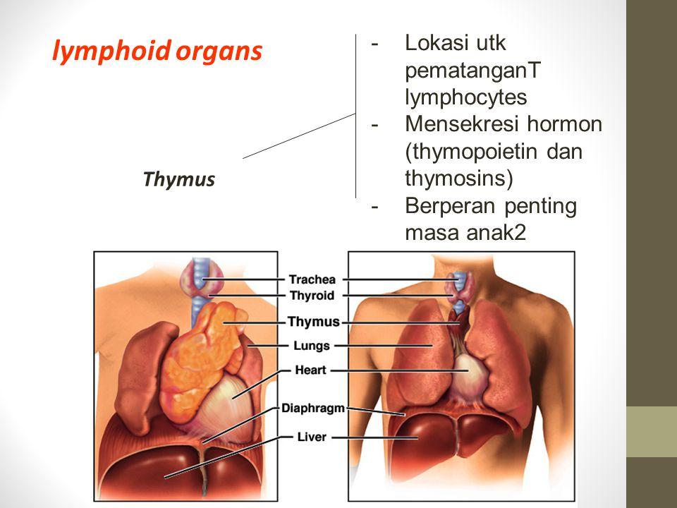 Thymus lymphoid organs -Lokasi utk pematanganT lymphocytes -Mensekresi hormon (thymopoietin dan thymosins) - Berperan penting masa anak2