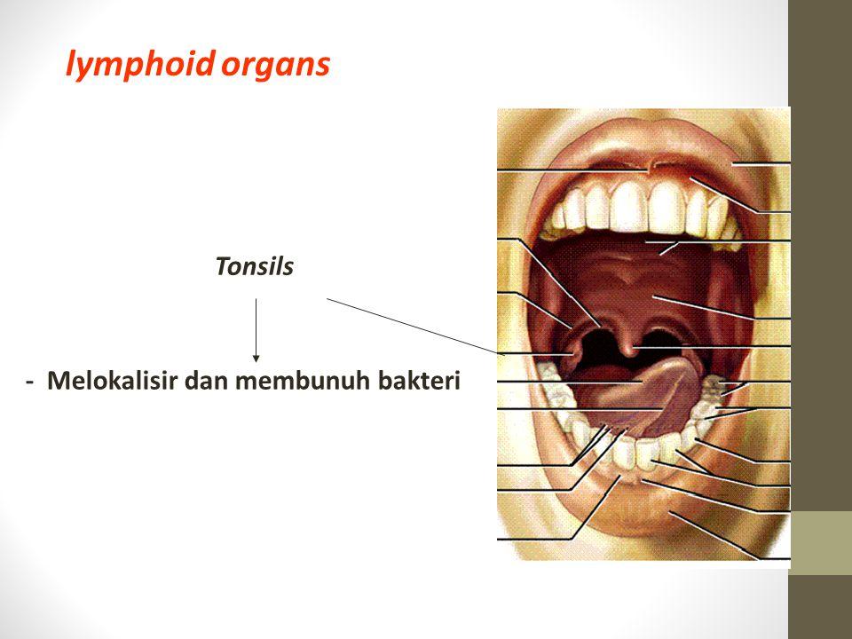 Tonsils lymphoid organs - Melokalisir dan membunuh bakteri