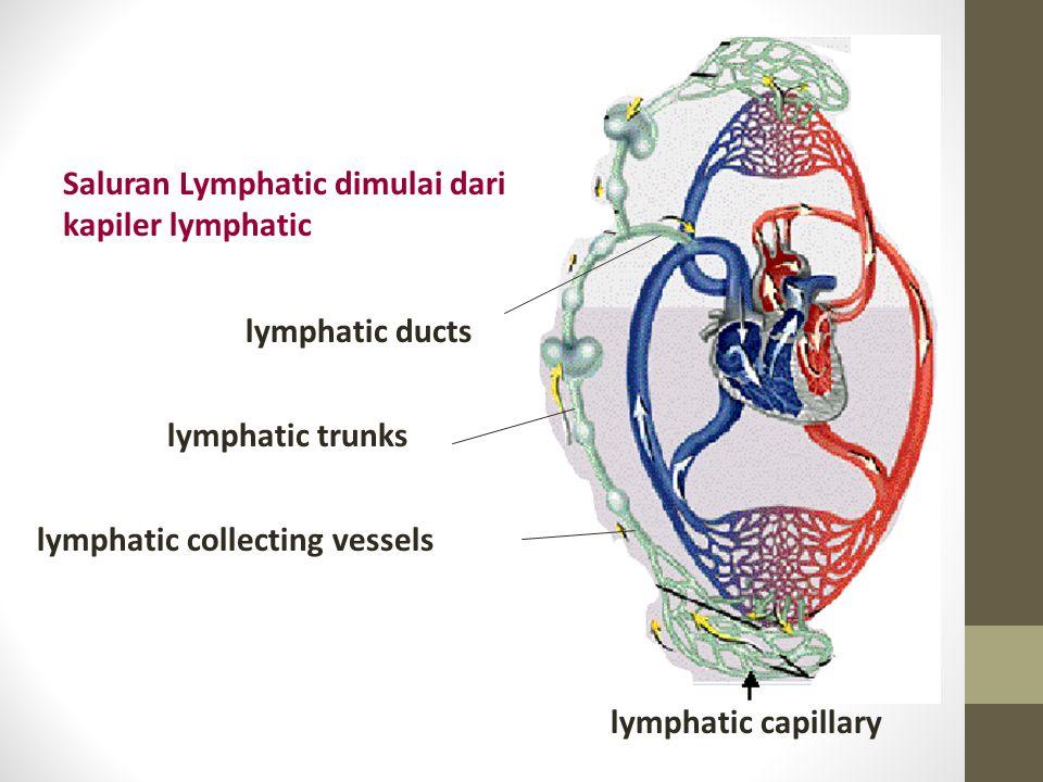 lymphatic capillary lymphatic trunks lymphatic collecting vessels lymphatic ducts Saluran Lymphatic dimulai dari kapiler lymphatic
