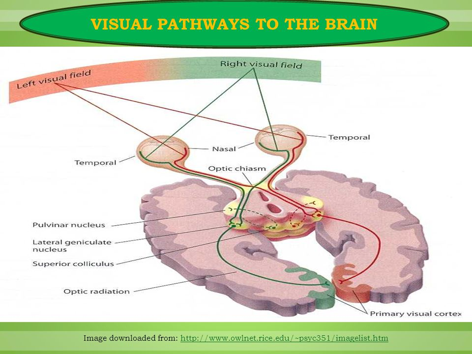 Image downloaded from: http://www.owlnet.rice.edu/~psyc351/imagelist.htmhttp://www.owlnet.rice.edu/~psyc351/imagelist.htm VISUAL PATHWAYS TO THE BRAIN