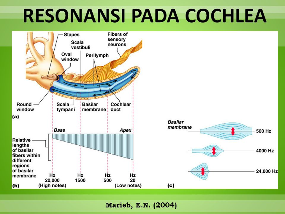 The cochlear is shown as if it were uncoiled and laid out straight  Marieb, E.N. (2004)