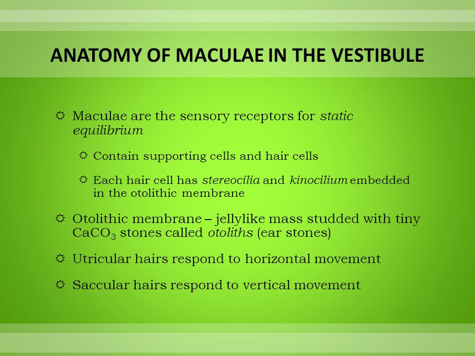  Maculae are the sensory receptors for static equilibrium  Contain supporting cells and hair cells  Each hair cell has stereocilia and kinocilium e