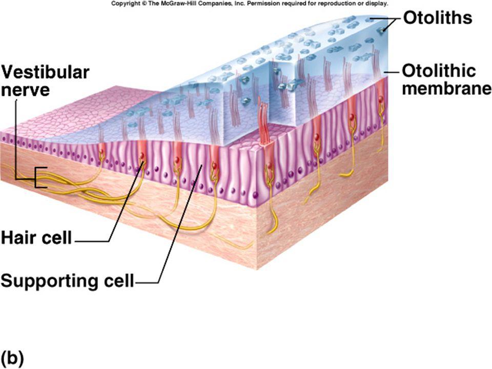 Vestibule - Sensitive to Tilting of Head Movements (Otoconia)