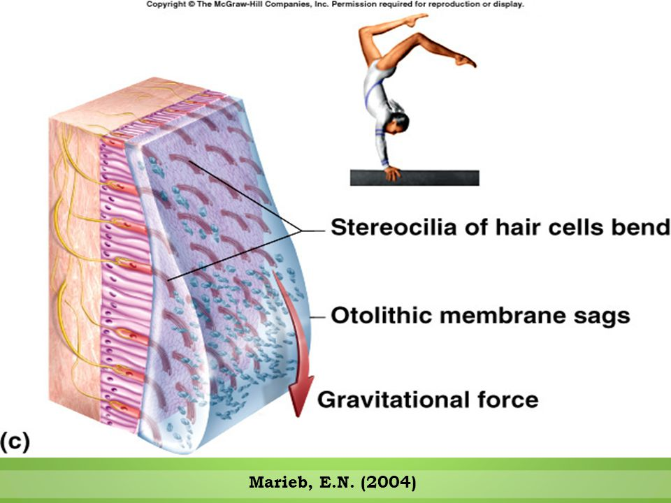 Vestibule - Sensitive to Tilting of Head Movements Marieb, E.N. (2004)