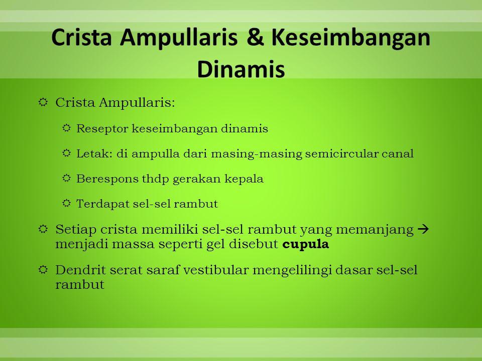  Crista Ampullaris:  Reseptor keseimbangan dinamis  Letak: di ampulla dari masing-masing semicircular canal  Berespons thdp gerakan kepala  Terda
