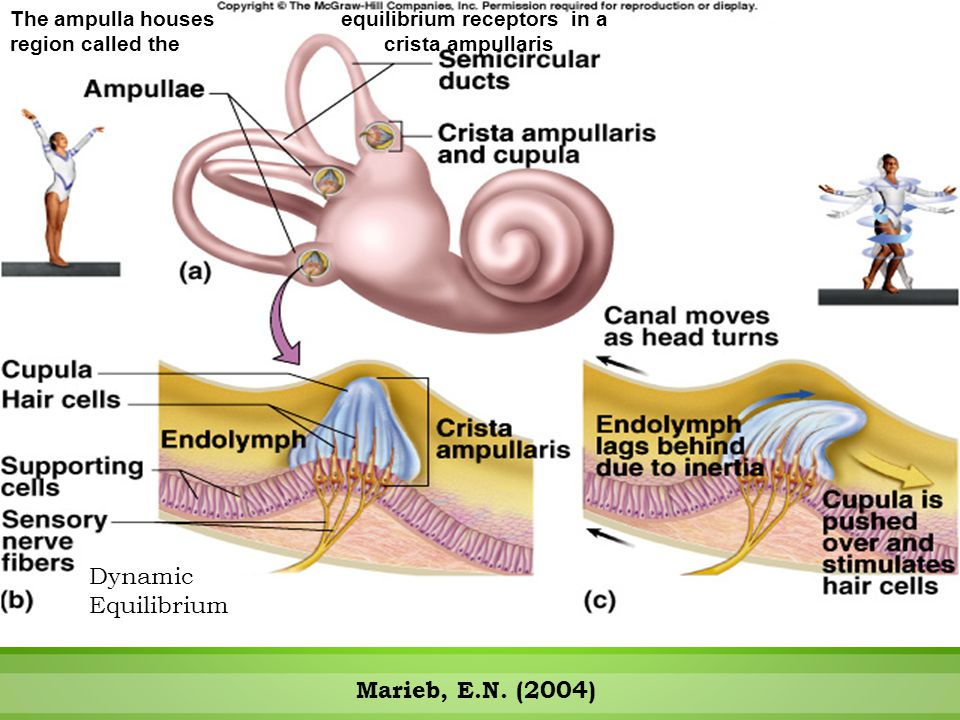 Semicircular Canals Respond to Rotational Movements The ampulla houses equilibrium receptors in a region called the crista ampullaris Dynamic Equilibr