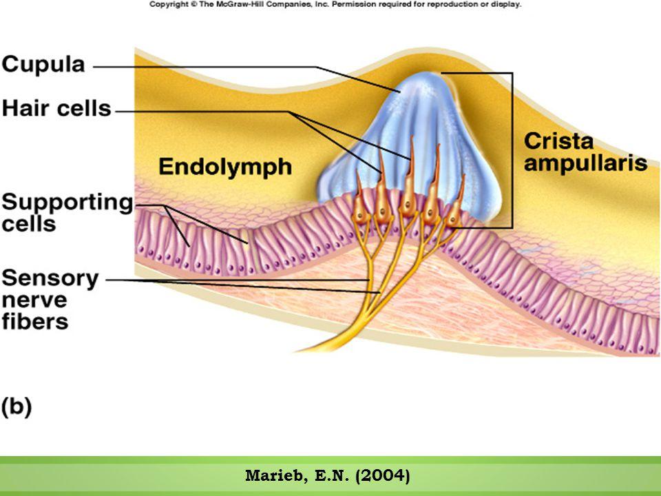 Semicircular Canals Respond to Rotational Movements Marieb, E.N. (2004)